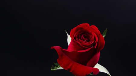 검은 배경에 예쁜 진한 빨강 장미