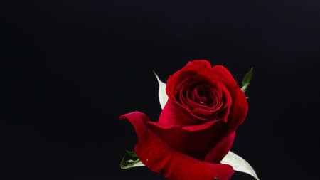 黒い背景にかなり暗い赤いバラ