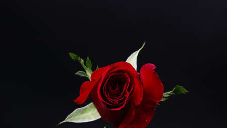 Pretty Dark red rose on black background