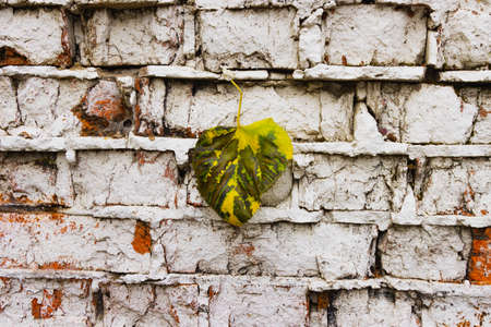 Autumn, a yellow-green fallen leaf lies on an old brick Grange wall.