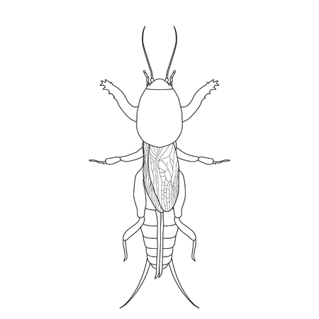 black wigs: Gryllotalpidae.  European mole cricket. gryllotalpa. Sketch of mole cricket  mole cricket isolated on white background. mole cricket Design for coloring book.  hand-drawn outline mole cricket. Vector illustration