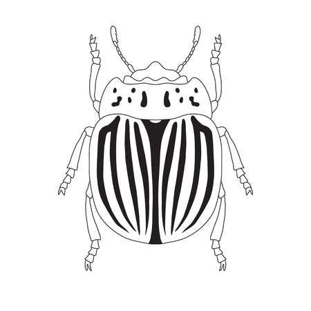 zoological: colorado potato beetle. Leptinotarsa decemlineata. Sketch of colorado potato beetle.  colorado  beetle isolated. colorado  beetle Design for coloring book.  hand-drawn colorado  beetle. Vector Illustration