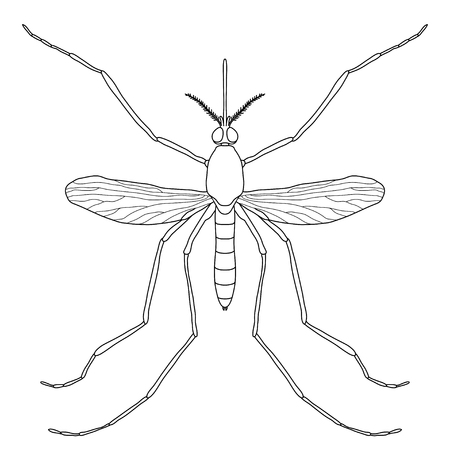 dipterus: Insect. a realistic mosquito. Culex pipiens Mosquito silhouette. Mosquito isolated  on white background.  mosquito Design for coloring book.  hand-drawn mosquito. Vector illustration
