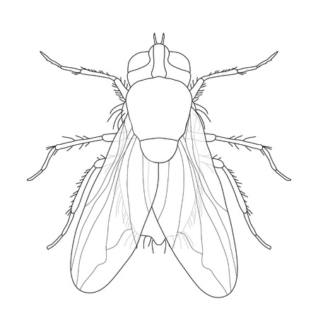 musca: fly. Musca domestica..  Insect. a realistic fly. fly silhouette. fly isolated  on white background.  fly Design for coloring book.  hand-drawn fly. Vector illustration Illustration