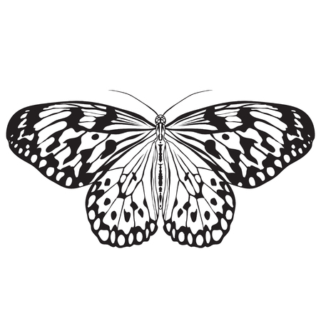 butterfly isolated: Butterfly Idea Leuconoe. Sketch of  Butterfly.  Butterfly isolated on white background.  Butterfly Design for coloring book.  hand-drawn  Butterfly. Hand drawn  Vector illustration
