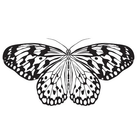 papillon: Papillon Idea Leuconoe. Croquis de papillon. Papillon isol� sur fond blanc. Papillon Conception pour livre de coloriage. tir� par la main-papillon. Tir� par la main Vector illustration