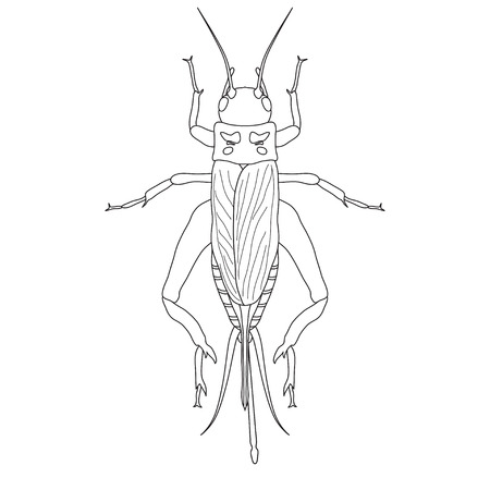 grig: cricket. grig. Gryllus campestris. Sketch of cricket.  cricket isolated on white background. cricket Design for coloring book.  hand-drawn cricket. Vector illustration