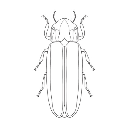 firefly: Firefly beetle Lampyridae. Sketch of Firefly beetle. Firefly beetle isolated on white background. Firefly beetle Design for coloring book.  hand-drawn Firefly beetle. Vector illustration