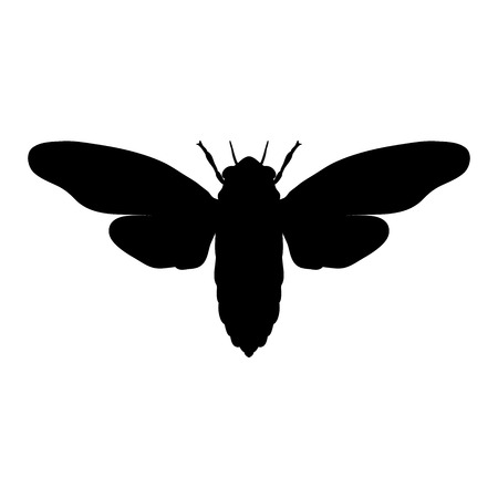 cicada: cicada. Cicadidae. Sketch of cicada. cicada isolated on white background. cicada Design for coloring book. hand-drawn cicada. Vector illustration Illustration