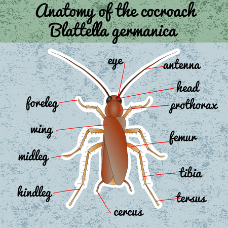 Insect anatomy. Sticker Blattella germanica. cockroach. Sketch of cockroach.  cockroach Design for coloring book. hand-drawn cockroach. Vector illustration Illustration