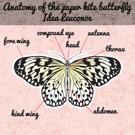 paper kite: Insect anatomy. Sticker Butterfly Idea Leuconoe. Rice Paper Kite . Sketch of Butterfly. Butterfly Design for coloring book. hand-drawn Butterfly. Hand drawn Vector illustration Illustration