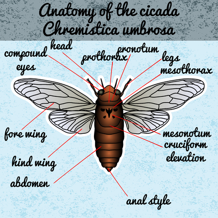 cicada: Insect anatomy. Sticker cicada. Cicadidae. Chremistica umbrosa. Sketch of cicada.  cicada Design for coloring book. hand-drawn cicada. Vector illustration Illustration