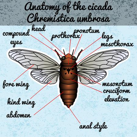 Insect anatomy. Sticker cicada. Cicadidae. Chremistica umbrosa. Sketch of cicada.  cicada Design for coloring book. hand-drawn cicada. Vector illustration Illustration