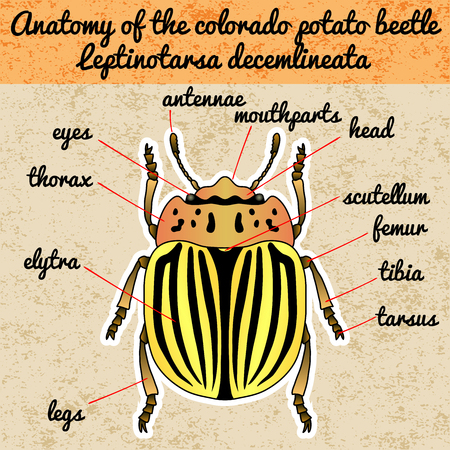 vermin: Insect anatomy. Sticker  colorado potato beetle. Leptinotarsa decemlineata. Sketch of colorado potato beetle. colorado beetle Design for coloring book. hand-drawn colorado beetle. Vector illustration Illustration