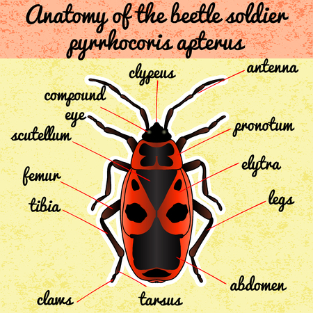 Insect anatomy. Sticker Pyrrhocoris apterus. beetle. Bug-soldier. Firebug. Sketch of beetle. beetle Design for coloring book. hand-drawn beetle. Vector illustration