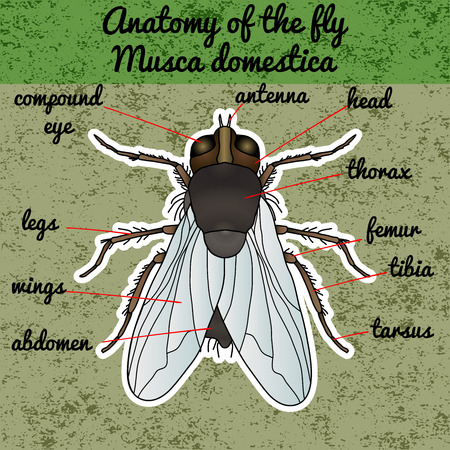 Insect anatomy. Sticker fly. Musca domestica.. Insect. a realistic fly. fly silhouette. fly Design for coloring book. hand-drawn fly. Vector illustration Illustration