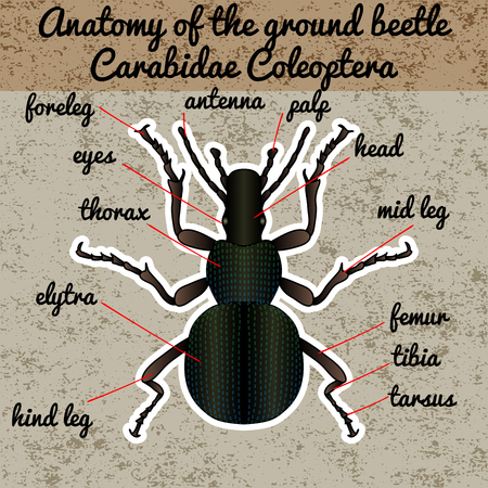Anatomía de insectos. Etiqueta engomada del insecto escarabajo de tierra. Carabidae coleoptera. Bosquejo de escarabajo de tierra. Escarabajo de tierra Diseño para colorear. Escarabajo de tierra dibujado a mano. Ilustración vectorial