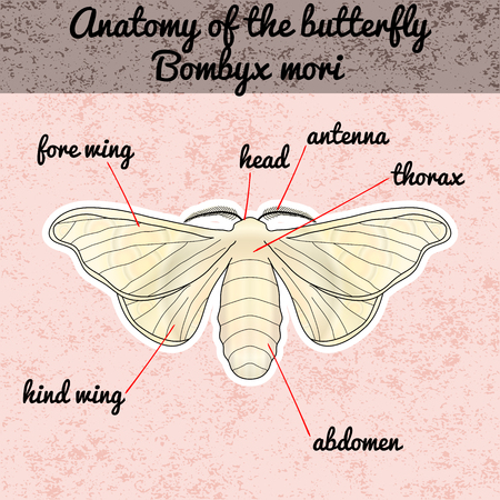 bombyx mori: Insect anatomy. Sticker butterfly Bombyx mori. Sketch of butterfly.  butterfly Design for coloring book. hand-drawn butterfly. Vector illustration Illustration