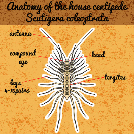 centipede: Insect anatomy. Sticker Scutigera coleoptrata. millipede.  House centipede Sketch of millipede.  millipede Design for coloring book. hand-drawn millipede. Vector illustration Illustration