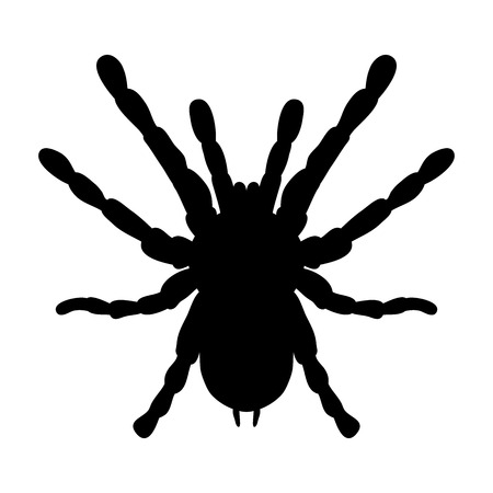 tarantula: insect in magnifier. Brachypelma smithi, spider female. Sketch of spider. Tarantula Design for coloring book.