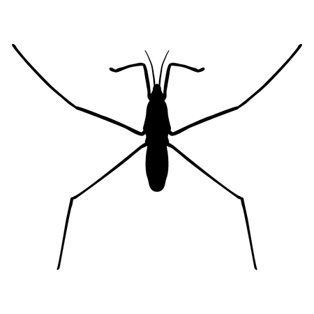 striding: insect in magnifier.water strider. Gerridae. GERRIS LACUSTRIS Sketch of water stride. hand-drawnwater strider. Illustration