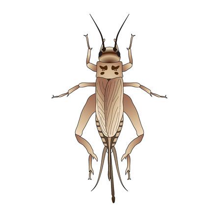 Cricket. grig. Gryllus campestris. Sketch of cricket. cricket isolated on white background. cricket Design for coloring book. hand-drawn cricket. Vector illustration. Ilustração