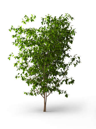 Isolated ficus Weeping fig photo