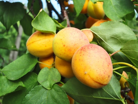 Ripe juicy apricots on a branch close-up                 photo