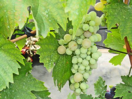 muscat: Brush green ripe grapes on the vine with leaves