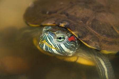 Closeup of red eared slider in the wild photo