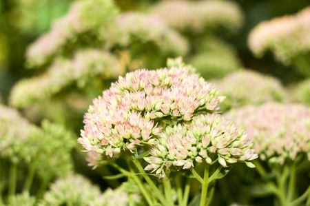 yarrow: a yarrow flower close-up for your design Stock Photo
