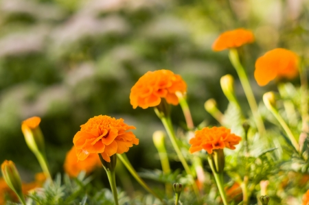 garden marigold: Background from marigold flowers for your design