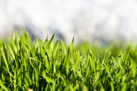 Fresh juicy green grass with dew for your design photo