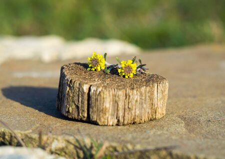 Two small yellow flower on a tree stump for your design photo