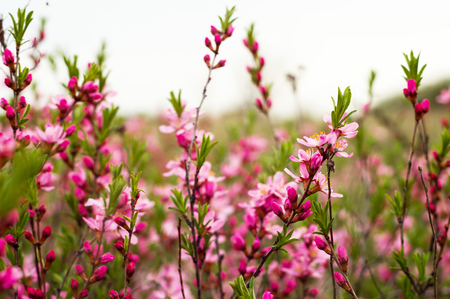 Flowering shrub of the field close up for your design