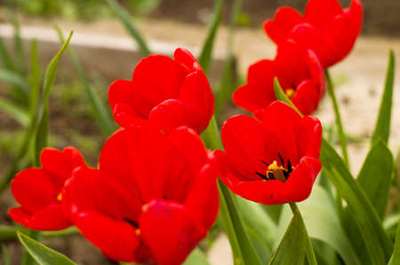 Red tulips close up for your design