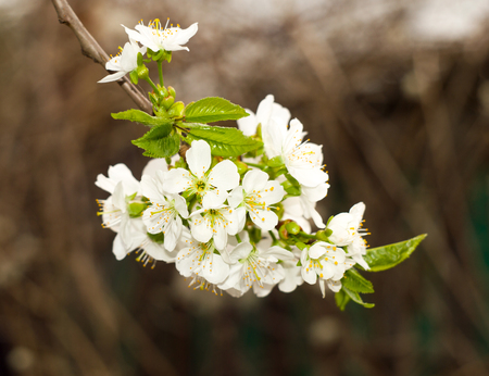 Twig blossoming tree close up for your design