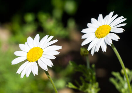 Two daisies closeup for your design