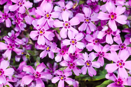Background of beautiful purple flowers for your design Standard-Bild