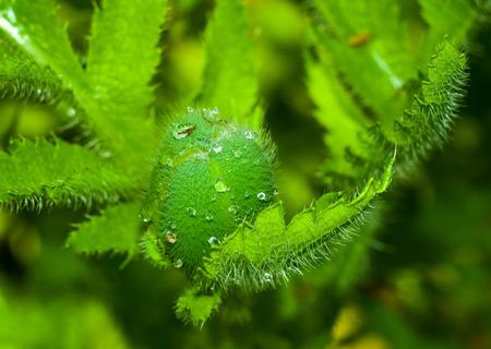 Poppy bud closeup for your design