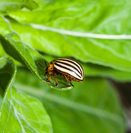 Colorado potato beetle on a leaf close-up for your design