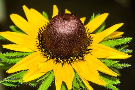 Beautiful yellow rudbeckia close up for your design Standard-Bild