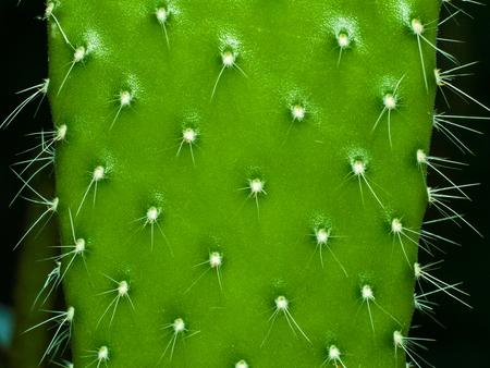 Cactus leaf close up for your design Standard-Bild
