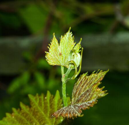 grape leaf close up for your design