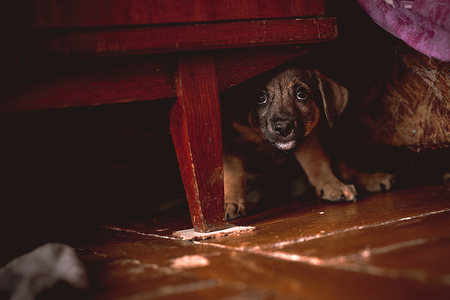 beagle mix: Small Puppy Hiding Under Wardrobe