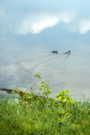 duck with ducklings swimming in the lake