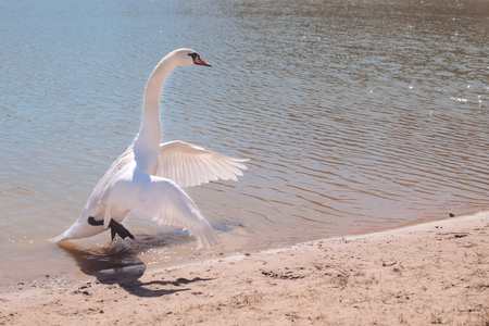 Swan flaps its wings on the lake Stock Photo