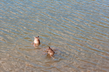 the duck tail sticking out of the water