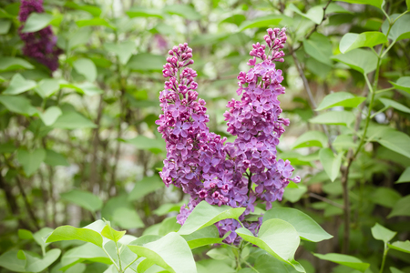 spring blooms of lilac, flowering tree  Stockfoto