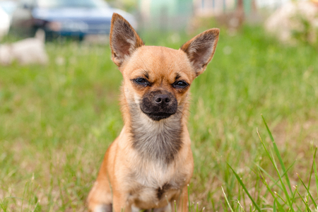 brown Chihuahua sitting outside in the grass Stockfoto